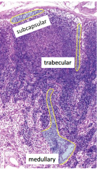Subcapsular, trabecular, medullary sinuses