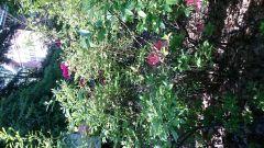 Ericaceae Vaccinium corymbosum