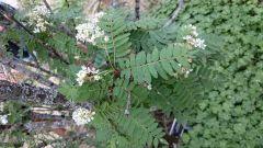 Rosaceae Sorbus frutescens
