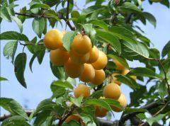 Rosaceae Prunus dommestica