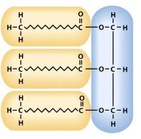 Form of fat storage molecule which contains a glycerol backbone with three fatty acids