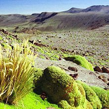 In fellfield environments/slopes, this particular field encompasses the types of plants and plant communities that form as a result of the nature of their location. A specific plant that fits in this category is the Azorella Compacta (Peru), as sh...