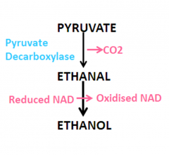 1) Pyruvate is decarboxylated by pyruvate decarboxylase to form Ethanal 2) Ethanal accepts hydrogen from reduced NAD to form Ethanol and oxidised NAD.  3) NAD can now accept more hydrogen atoms in glycolysis.