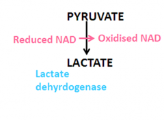 1) Pyruvate accepts hydrogen from reduced NAD to form Lactate and oxidised NAD.  It is catalysed by lactate dehydrogenase.