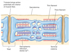 A modified endoplasmic reticulum that consists of a fine network of interconnected membrane enclosed compartments surrounding each microfibril like a mesh sleeve.