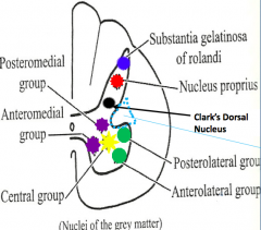Medial group: anteromedial and posteromedial Lateral group: anterolateral and posterolateral Central group (only in cervical)