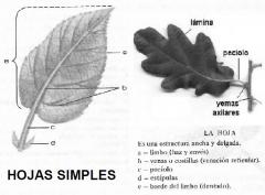 Lámina foliar o limbo (haz y envez) Borde del limbo Nervadura principal Ápice Peciolo Yema terminal o axilar Estípulas