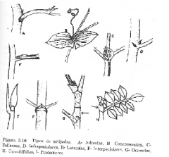 Adnadas Concresoentes Foláceas Infrapeciolares Laterales Interpeciolares Ocresidas Opositifolias Protectoras