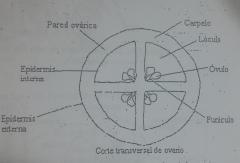Pared Epidermis (Inferna y externa) Carpelo Lóculo Funículo Óvulo