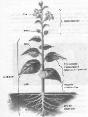 Raíz: Absorción de nutrientes y agua / Soporte Tallo: Conducción Hojas: Fotosíntesis / Respiración / Biosíntesis Flores y Frutos: Reproducción
