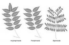 Geminada Trifoliada Digitada Imparipinnada Paripinnada Conjugadopinnada Bipinnada o recompuesta Biternada