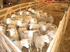 What age of sheep are most commonly effected by pulpy kidney?