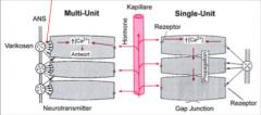 Multi-Unit: Einzelzellen, Neurogene Aktivierung (Neurotransmitter: ACh, Na, regulieren Ca Zufuhr); vegetative Innervation (ANS), Hormone und Adrenalin aus der Nebenniere(reguliert Ca), Bsp: Irismuskel, Ziliarmuskel Single-Unit: Zellen bilden via G...
