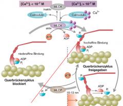 Phosphorylierung/ Dephosphorylierung der leichten Kette des Myosins (MLC). MLCK: kinase MLCP: phosphatase   Calmodulin (Ca-sensor) bindet beim Ca-Einstrom 4 Ca-Ionen,    dieser Komplex aktiviert MLC, mit Hilfe von ATP phosophoryliert es eine MLC. ...