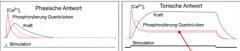 Beim Calciumeinstrom: Bildung des Ca2+Calmodulin Komplex und Freigabe der Myosin-Bindungsstellen am Aktin erfolgt über den Caldesmon, Caldesmon und Calmodulin Komplex in Abhängigkeit von der intrazellulären Ca Konzentration.  2 unterschiedliche...