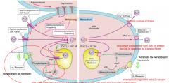 Kontraktion: Noradrenalin und Adrenalin gehen an einen G-Protein gekoppelten Alpha 1 Rezeptor und lösen dort eine Kaskade aus: die Phospholipase C geht an den second messingner IP3 welcher an den IP3 Rezeptor in der Zelle bindet und eine intrazel...