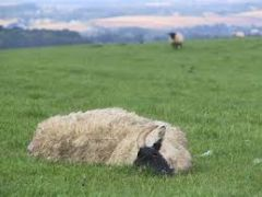 What is the classic signalment history of sheep found dead due to Braxy?