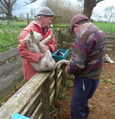In association with what management events do outbreaks of black leg usually occur around in sheep?