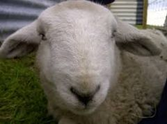 What are signs of black leg of the head in sheep?