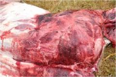 Which muscles are usually affected by black leg in cattle?