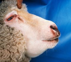What clostridial disease causes massive facial swelling? What sheep are mainly effected?