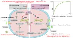 Die Aktivität der MLCK und MLCP wird durch intrazelluläre Signalwege moduliert. durch die Kinase oder die Phosphatase wird die Sensitivität des kontraktilen Apparates bezüglich des Triggers Ca verändert, d.h. bei einer vorliegenden Ca2+ Konz...