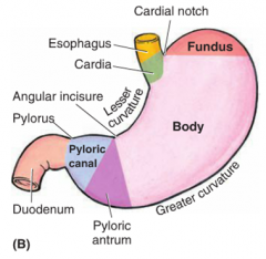 1. cardia 2. fundus 3. body 4. pyloric (subdivided into antrum & canal, whose junction is indicated by the angular incisure)