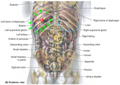 location: -intraperitoneal -deep to L lower ribs 9-11 -long axis parallel to rib 10  function: -antibody formation -disposal of deteriorating RBCs & platelets -stores blood