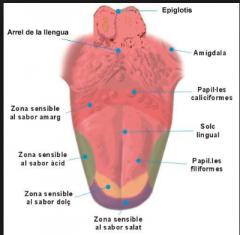 caliciformes: más voluminosas, amargo, base d ella lengua (11) fungiformes: hongo, todas partes v lingual, rojitas, dulce filiformes: conica, pelitos/rallas foliadas: superior d ela lengua, pliegues laterales y pequeños de mucosa lingual