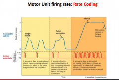 There are two key strategies used by the motor system to increase the force in a muscle:   -       Increase in firing rate (frequency) of motor units (known as rate coding).   -       Recruitment of additional motor units (muscle fibres) smallest ...