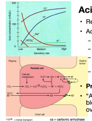 Acid from CO2 crossed the parietal cell membrane. Proton pump pushes H+ out and K+ in. Cl- ions go from blood to cytosol through exchange channel with HCO3- (which goes into blood) then to gastric lumen through channel, it is balanced by the K+ l...