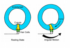 - Endolymph has inertia - Turn head - fluid doesn't want to move - Pushes against the cupula which moves the hair cells