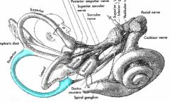 Posterior semicircular canals