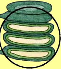 1. The thylakoid membrane consist mostly of ____. 2. image