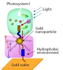 1. the transfer of electrons from water through PS2 to PS1 as a flow of reducing power. 2. image