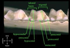The molar design that is considered one of the most important characteristics of mammals is a three-cusped shape.   Upper molars look like three-pointed mountain ranges; lower molars look like two peaks with a third off to the side.