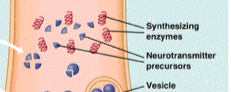 Neurotransmitter molecules are synthesized from precursors under the influence of enzymes .
