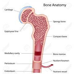 1. Spongy bone  2. Compact bone 3. Bone marrow 4. Nutrient vessel 5. Edosteum 6. Periosteum 7. Medullary cavity 8. Epiphyseal line 9. Cartilage