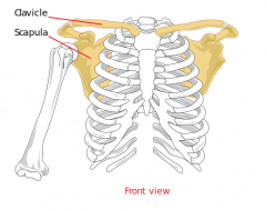 Long bone that serves as a strut between the scapula and the sternum. It is the only long bone in the body that lies horizontally.