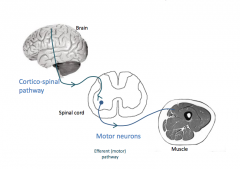 To do motor movement, start at the motor cortex and goes to the spinal cord which then synapses with the alpha motor neuron and goes to the muscle      There are hundreds or thousands of neurons going to the muscle