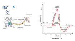 When goes to the end of the axon, it is a synoptic transmission      At first the action potential the membrane potential at rest is about -70, then after a stimulus the sodium goes into the cell and makes the membrane more positive which ca...