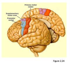 Supplementary motor area and premotor cortex