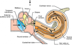 "Sensory receptor in the inner ear that converts the mechanical vibrations to nerve impulses. Cochlear duct. Involves the endolymph and sensory hair cells including ""Organ of Corti"" and Cochlear Nerve. Surrounded by Perilymph (U-shaped tube)"