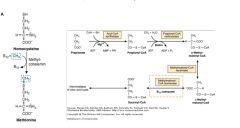 (1) Macrocytic RBCs and hypersegmented neutrophils (2) Glossitis (cells not turning over) (3) Decreased serum folate (4) Increased serum homocysteine (5) Normal methylmalonic acid