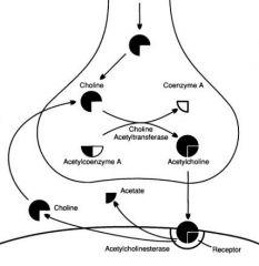 Choline Acetyl Transferase