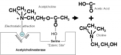 Acetlycholineesterase, breaks the ester bond between choline and aceate,   Forms choline and acetic acid