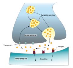 Not broken down its reabsorbed   Re-uptake helps to terminate the signal
