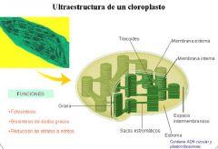 7- Estructura y Función de los Cloroplastos Se compone de 2 membranas: Externa que es lisa y la Interna que forma repliegues horizontales que no se tocan entre sí. Ambas membranas se separan por un espacio intermembranoso llamado Espacio Peripl...