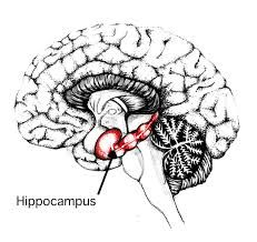 Memory loss, Hippocampus