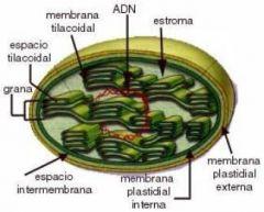 Cloroplastos